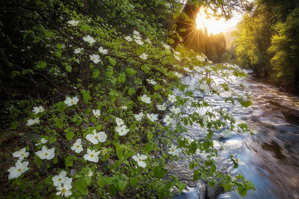 Dogwoods in Bloom in Yosemite - Best Time