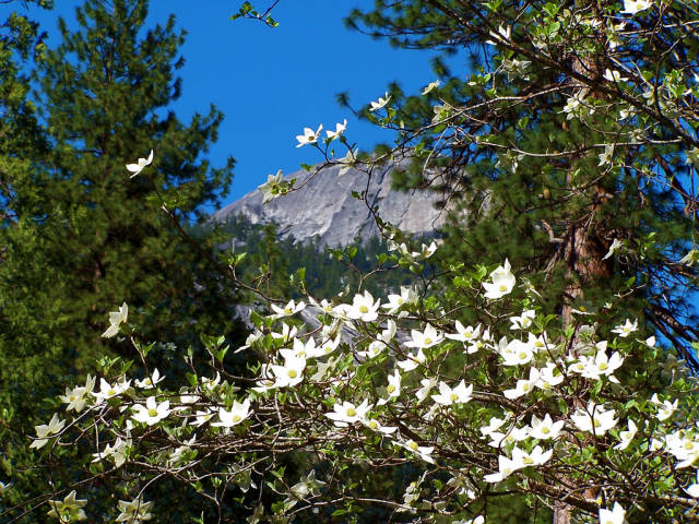 Best time to see Dogwoods in Bloom in Yosemite