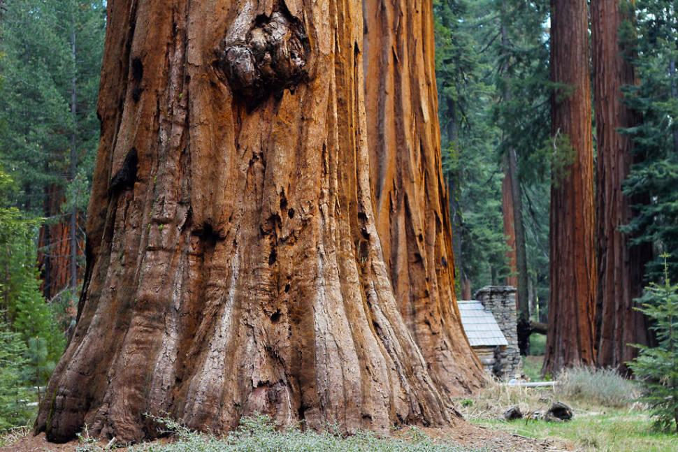Giant Sequoias of Yosemite National Park in Yosemite - Best Season