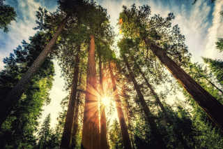 Giant Sequoias of Yosemite National Park