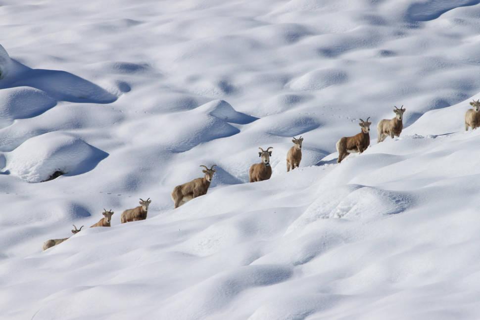 Best time for Sierra Nevada Bighorn Sheep in Yosemite
