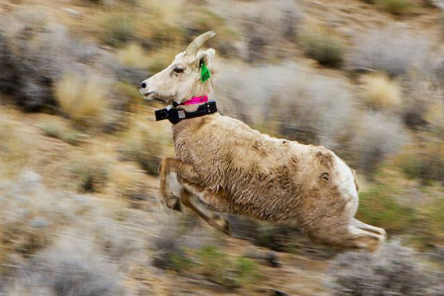 Sierra Nevada Bighorn Sheep in Yosemite - Best Season