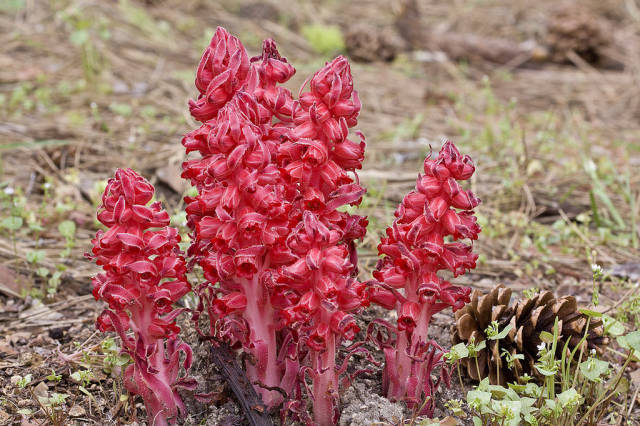 Best time for Snow Plant in Yosemite