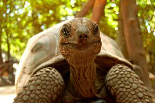 Baby Giant Tortoises on Prison Island