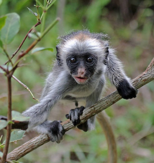 Best time to see Baby Red Colobus Monkeys in Zanzibar