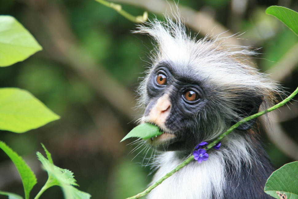 Best time for Baby Red Colobus Monkeys