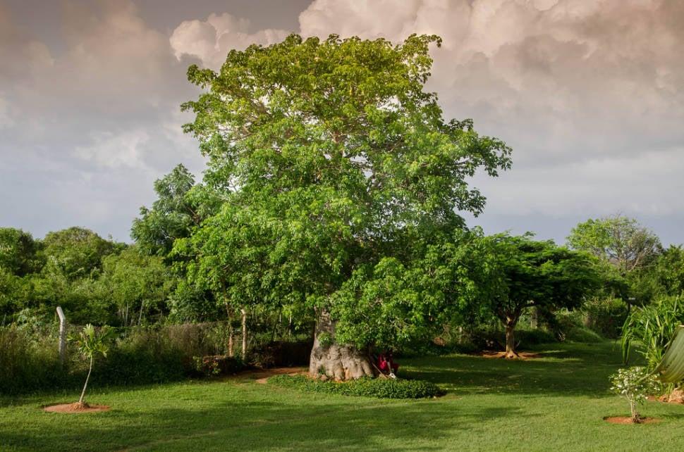 Baobab Blooming and Fruit in Zanzibar - Best Season