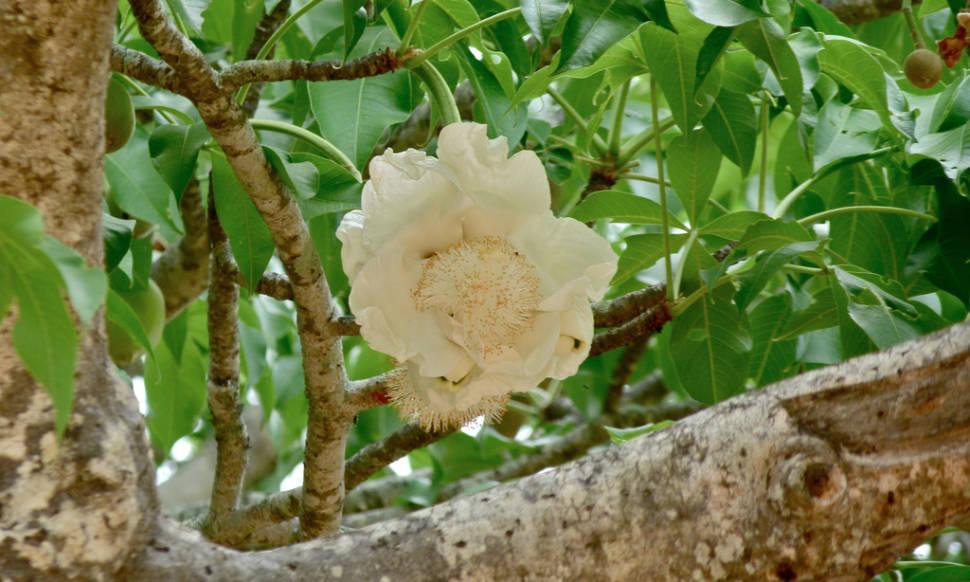 Baobab blooming