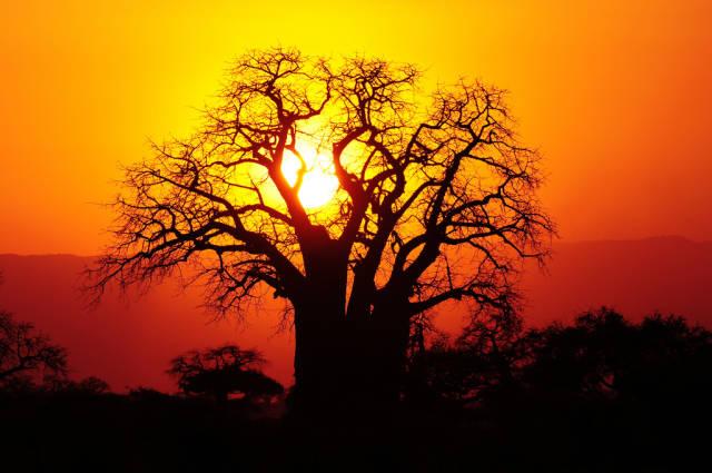 Baobab Blooming and Fruit in Zanzibar - Best Time