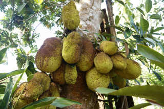 Breadfruit and Jackfruit