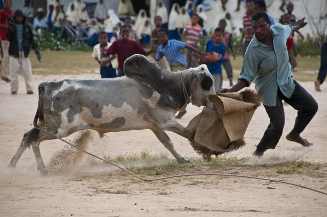Bullfighting on Pemba Island in Zanzibar - Best Season