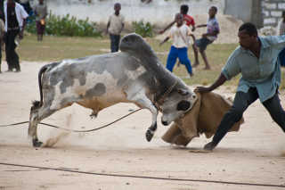 Bullfighting on Pemba Island