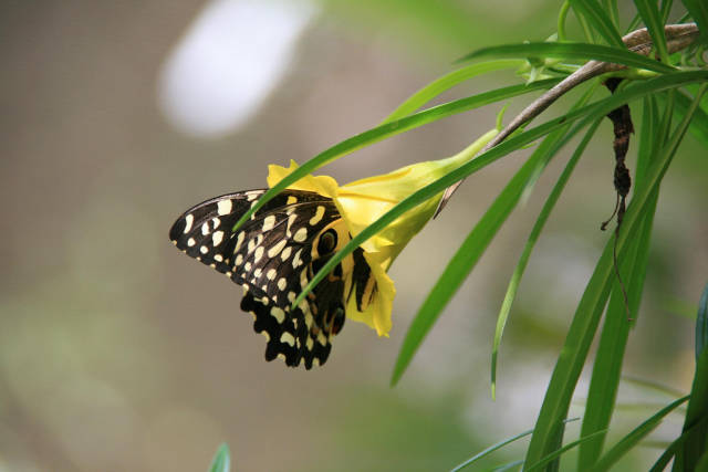 Citrus swallowtail (Papilio demodocus) in the Jozani Forest