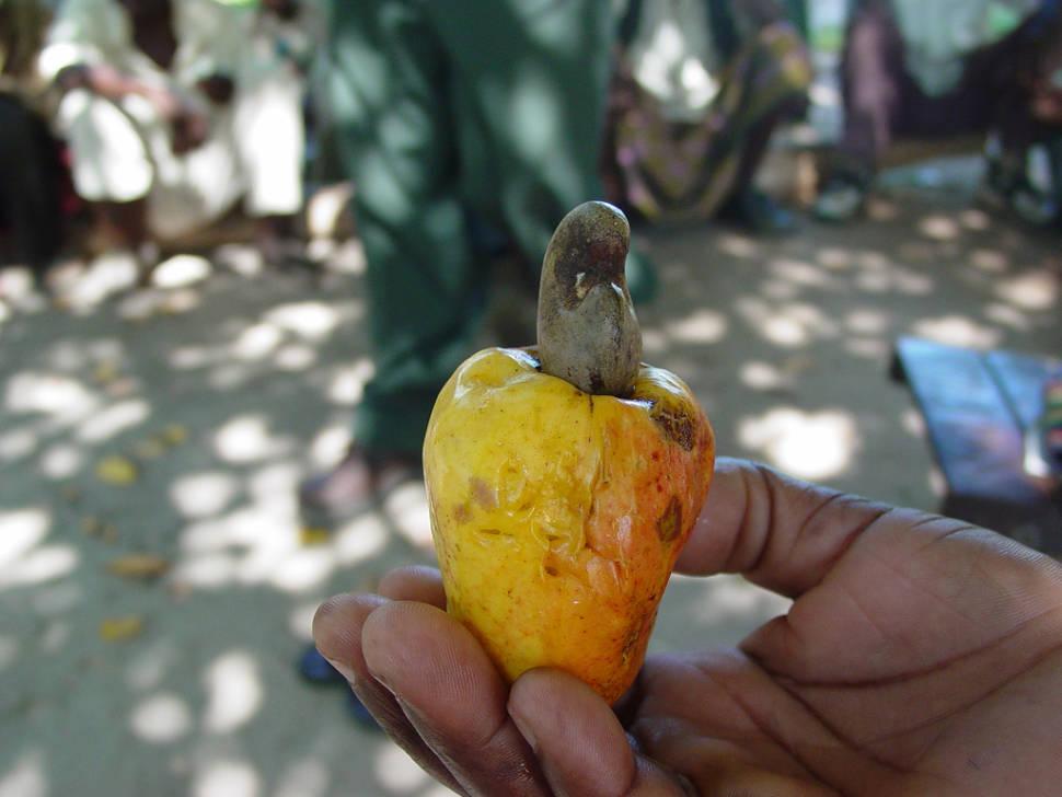 Cashew in Zanzibar - Best Time
