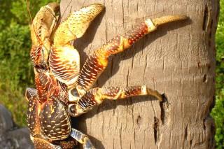 Coconut Crabs on Chumbe Island
