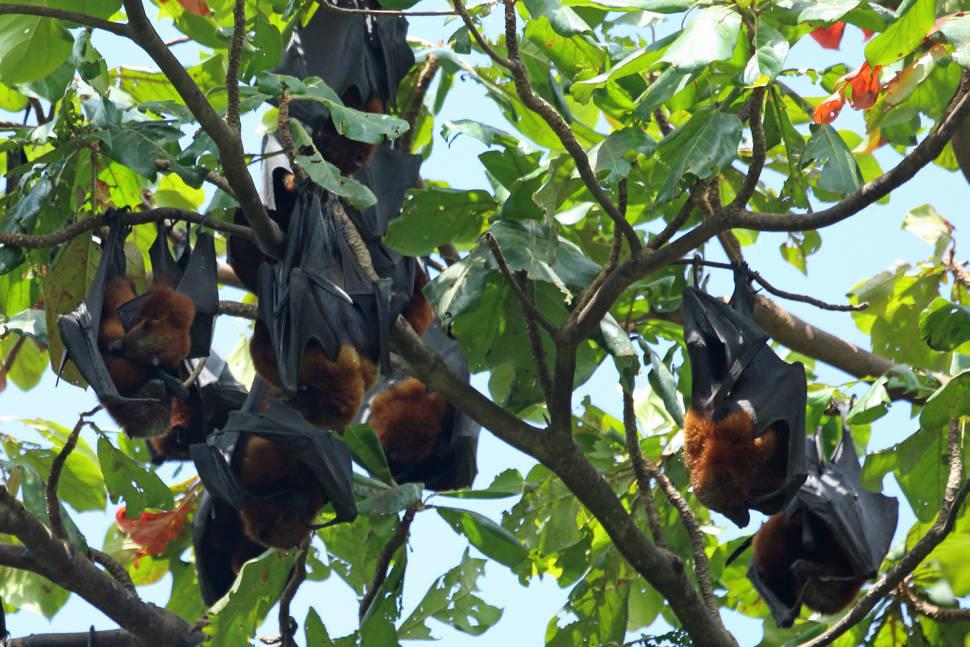 Pemba Flying Fox Breeding Season in Zanzibar - Best Season