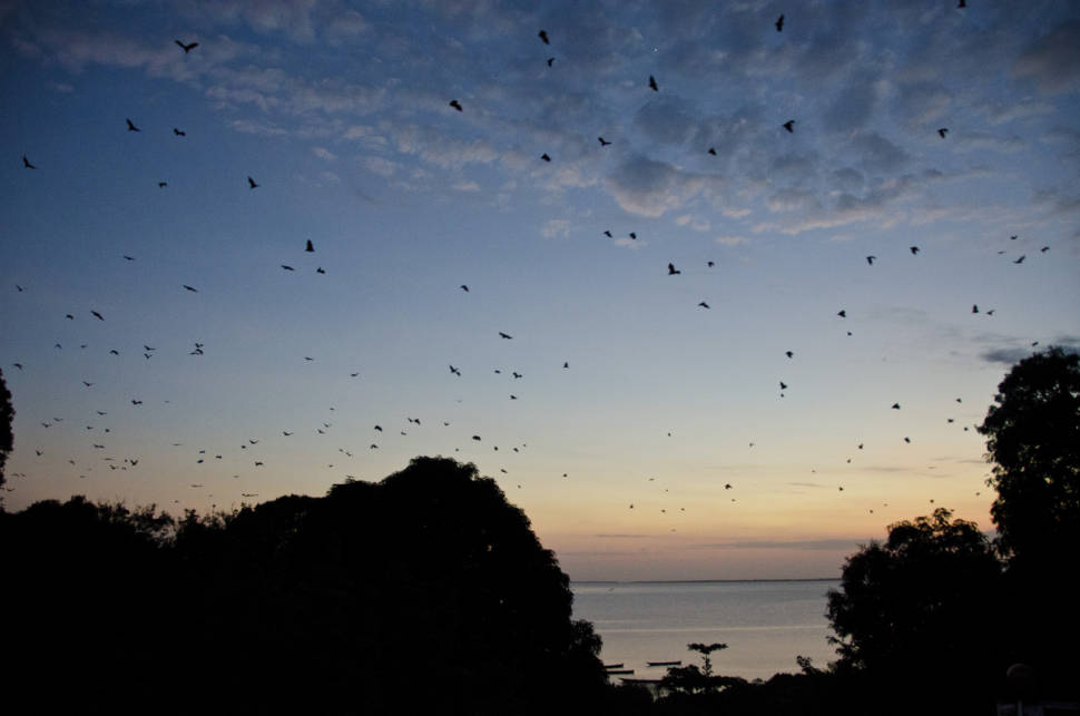 Pemba - Flying foxes (bats on a hunt for mangos)