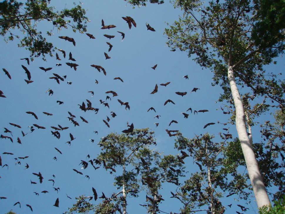 Best time for Pemba Flying Fox Breeding Season in Zanzibar