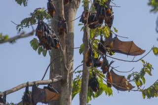Pemba Flying Fox Breeding Season